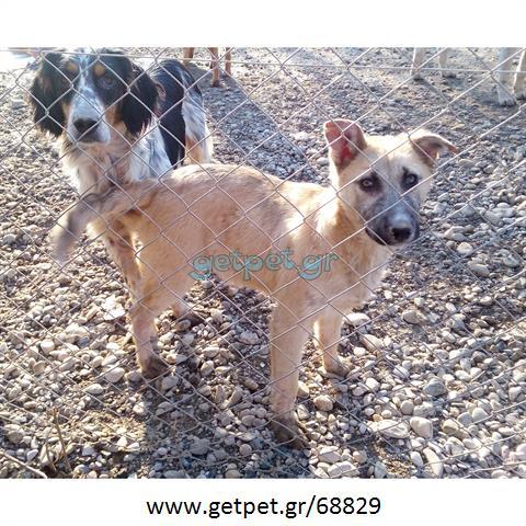 Δίνεται για υιοθεσία - χαρίζεται σκυλάκος Malinois - Μαλινουά