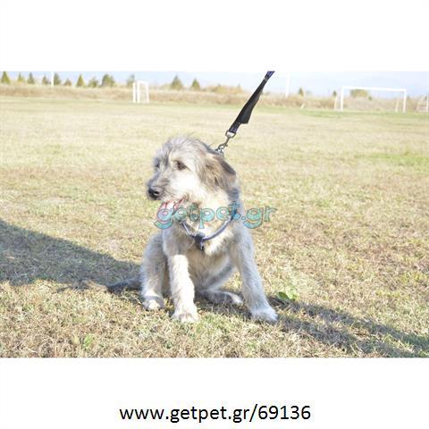 Δίνεται για υιοθεσία - χαρίζεται ημίαιμη σκυλίτσα English Sheepdog - Αγγλικός Ποιμενικός