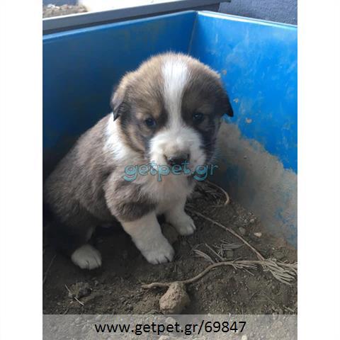 Δίνεται για υιοθεσία - χαρίζεται ημίαιμος σκυλάκος Greek White Sheepdog - Λευκό Ελληνικό Τσοπανόσκυλο