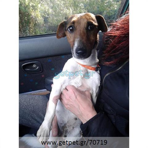 Δίνεται για υιοθεσία - χαρίζεται σκυλίτσα Jack Russell Terrier - Τζακ Ράσελ Τεριέ