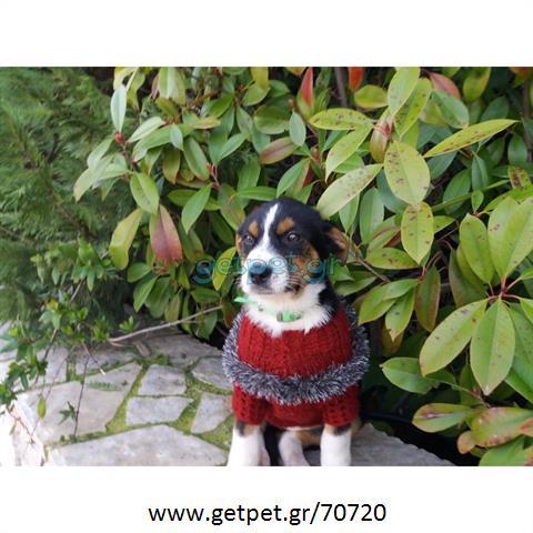 Δίνεται για υιοθεσία - χαρίζεται ημίαιμη σκυλίτσα Bernese Mountain Dog - Ορεινός σκύλος Βέρνης