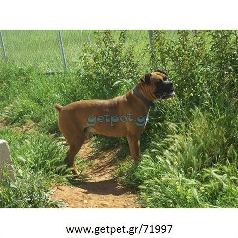 Δίνεται για υιοθεσία - χαρίζεται σκυλίτσα Boxer - Μπόξερ