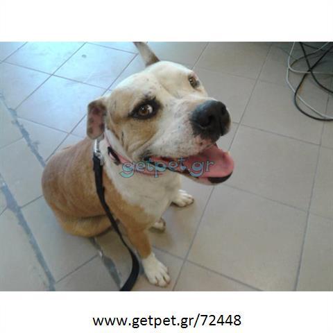 Δίνεται για υιοθεσία - χαρίζεται σκυλάκος American Staffordshire Terrier - Τεριέ