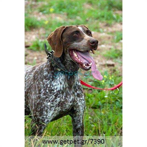 Δίνεται για υιοθεσία - χαρίζεται ημίαιμη σκυλίτσα Kurzhaar - Κουρτσχαάρ