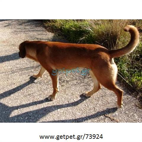 Δίνεται για υιοθεσία - χαρίζεται ημίαιμη σκυλίτσα Boxer - Μπόξερ