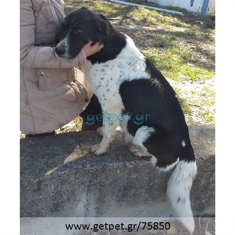 Δίνεται για υιοθεσία - χαρίζεται σκυλίτσα Irish Setter - Αγγλικό Σέτερ