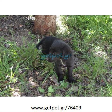 Δίνεται για υιοθεσία - χαρίζεται ημίαιμη σκυλίτσα Coker Spaniel - Κόκερ Σπάνιελ