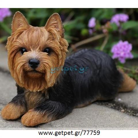 Δίνεται για υιοθεσία - χαρίζεται σκυλίτσα Yorkshire Terrier - Γιορκσάιρ Τεριέ – Γιόρκι