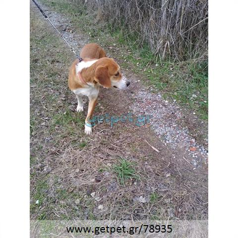 Δίνεται για υιοθεσία - χαρίζεται ημίαιμος σκυλάκος Beagle - Μπηγκλ