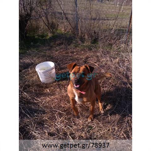 Δίνεται για υιοθεσία - χαρίζεται ημίαιμος σκυλάκος Boxer - Μπόξερ