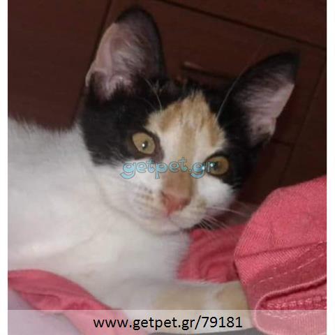 Δίνεται για υιοθεσία - χαρίζεται γάτα Aegean Cat - Γάτα Αιγαίου