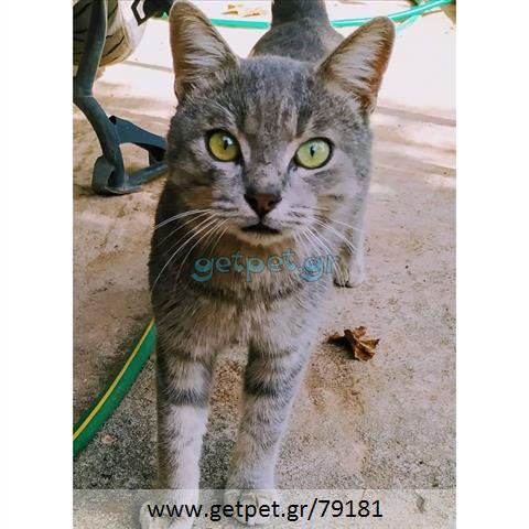Δίνεται για υιοθεσία - χαρίζεται ημίαιμος γάτος Russian Blue - Ρωσική μπλέ γάτα