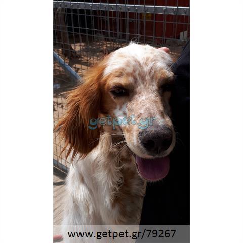 Δίνεται για υιοθεσία - χαρίζεται σκυλάκος English Springer Spaniel - Σπρίνγκερ Σπάνιελ