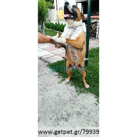 Δίνεται για υιοθεσία - χαρίζεται σκυλάκος Pit Bull - Πίτ Μπουλ Τερριέ