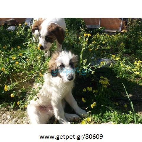 Δίνεται για υιοθεσία - χαρίζεται ημίαιμος σκυλάκος English Sheepdog - Αγγλικός Ποιμενικός