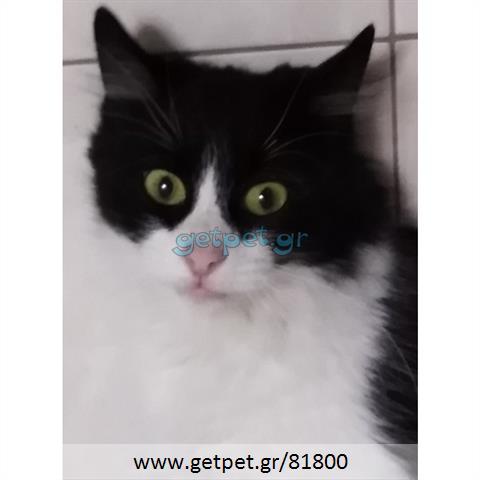 Δίνεται για υιοθεσία - χαρίζεται ημίαιμη γάτα Norwegian Forest Cat - Γάτα Νορβηγικού Δάσους