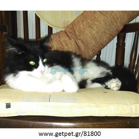 Δίνεται για υιοθεσία - χαρίζεται γάτα Norwegian Forest Cat - Γάτα Νορβηγικού Δάσους