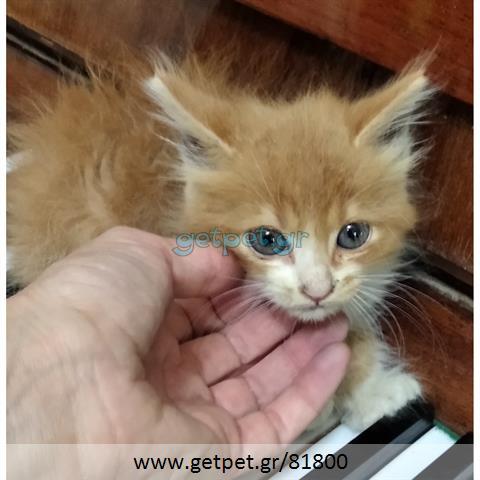 Δίνεται για υιοθεσία - χαρίζεται ημίαιμο γατάκι Mainecoon - Μέιν Κουν