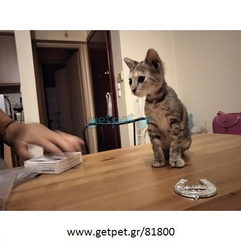 Δίνεται για υιοθεσία - χαρίζεται ημίαιμο γατάκι Bengal - Βεγγάλης