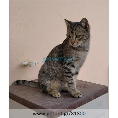 Δίνεται για υιοθεσία - χαρίζεται ημίαιμος γάτος Bengal - Βεγγάλης