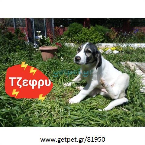 Δίνεται για υιοθεσία - χαρίζεται ημίαιμος σκυλάκος Artois Hound - Αρτουά