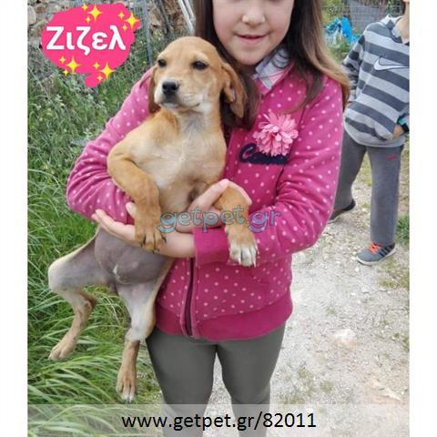 Δίνεται για υιοθεσία - χαρίζεται ημίαιμος σκυλάκος Segugio - Σεγκούτσι