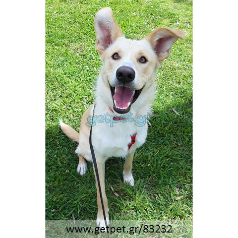 Δίνεται για υιοθεσία - χαρίζεται ημίαιμος σκυλάκος Canadian White Shepherd Dog - Καναδέζικο Λυκόσκυλο