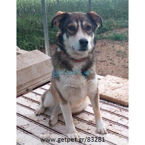 Δίνεται για υιοθεσία - χαρίζεται ημίαιμη σκυλίτσα Siberian Husky - Σιβηρικό Χάσκυ