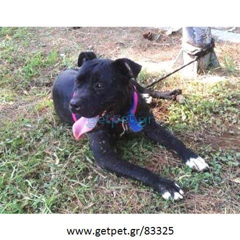 Δίνεται για υιοθεσία - χαρίζεται ημίαιμος σκυλάκος Pit Bull - Πίτ Μπουλ Τερριέ