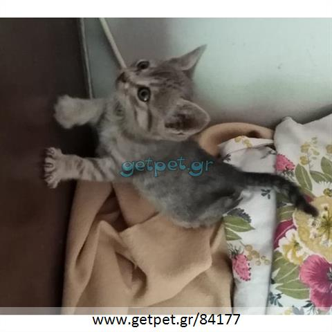 Δίνεται για υιοθεσία - χαρίζεται ημίαιμο γατάκι Russian - Ρωσσική