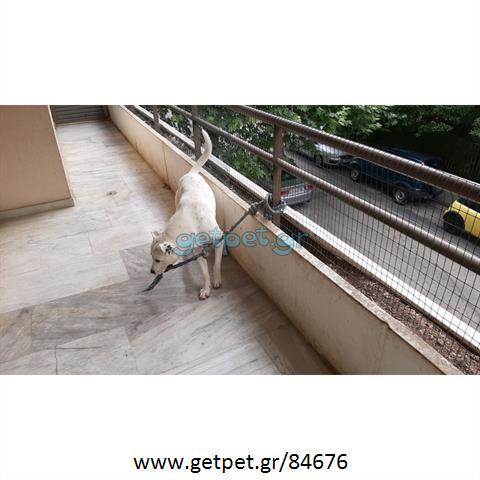 Δίνεται για υιοθεσία - χαρίζεται ημίαιμος σκυλάκος Dogo Argentino - Ντόγκο Αρτζεντίνο