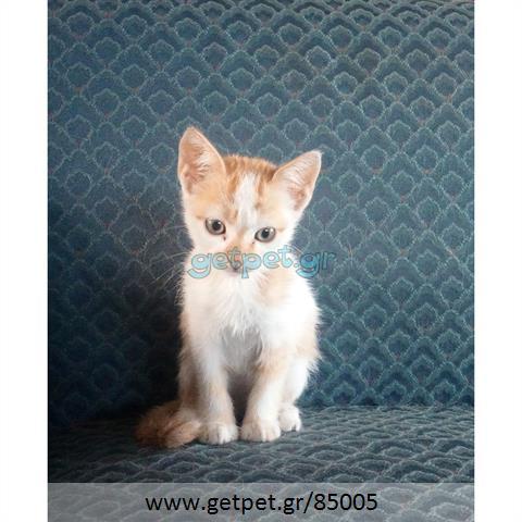 Δίνεται για υιοθεσία - χαρίζεται ημίαιμο γατάκι Aegean Cat - Γάτα Αιγαίου