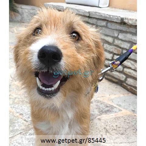 Δίνεται για υιοθεσία - χαρίζεται σκυλίτσα Griffon - Γκριφόν