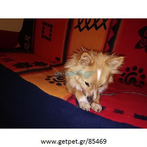 Δίνεται για υιοθεσία - χαρίζεται σκυλάκος Pomeranian - Πομεράνιαν