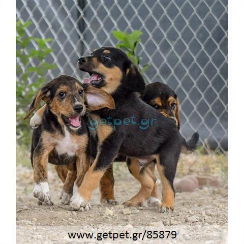 Δίνεται για υιοθεσία - χαρίζεται ημίαιμο κουτάβι Beagle - Μπηγκλ