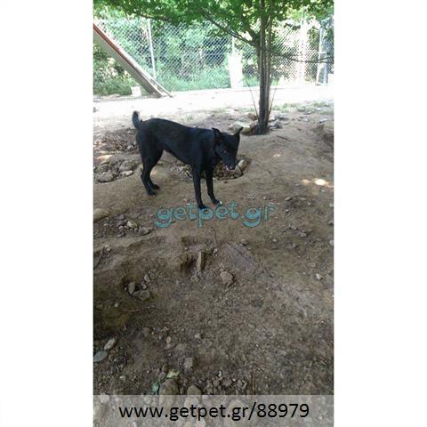 Δίνεται για υιοθεσία - χαρίζεται ημίαιμη σκυλίτσα Belgian Shepherd - Βέλγικο Ποιμενικό