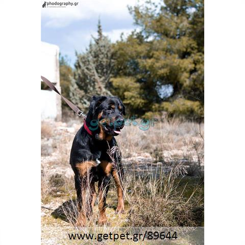 Δίνεται για υιοθεσία - χαρίζεται σκυλίτσα Rottweiler - Ροτβάιλερ