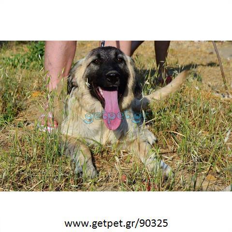 Δίνεται για υιοθεσία - χαρίζεται ημίαιμη σκυλίτσα Caucasian - Ποιμενικός Καυκάσου