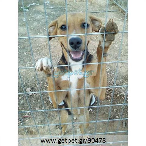 Δίνεται για υιοθεσία - χαρίζεται σκυλίτσα Greek Harehound - Ελληνικός Ιχνηλάτης