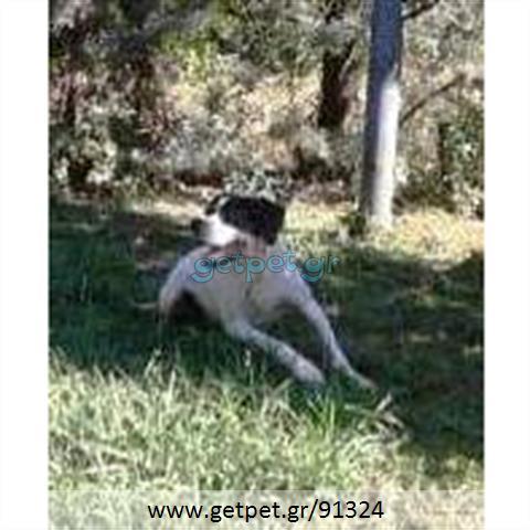 Δίνεται για υιοθεσία - χαρίζεται σκυλίτσα Pointer - Πόιντερ