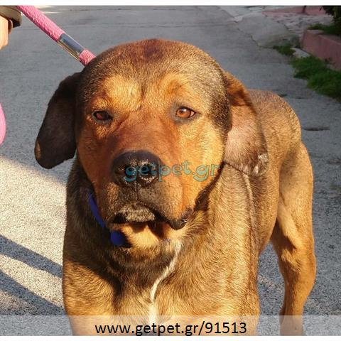 Δίνεται για υιοθεσία - χαρίζεται σκυλάκος Presa Canario - Πρέσα Κανάριο