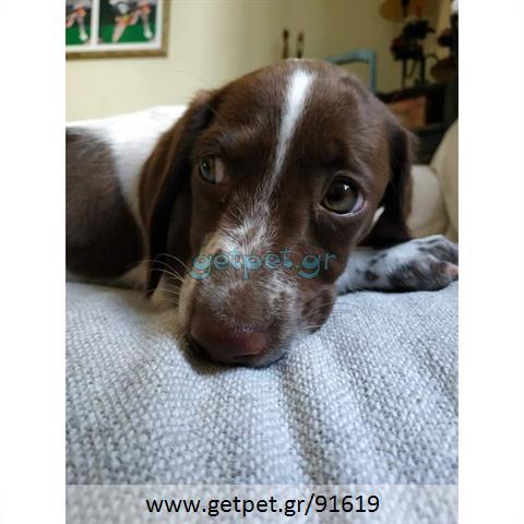 Δίνεται για υιοθεσία - χαρίζεται ημίαιμος σκυλάκος Pointer - Πόιντερ