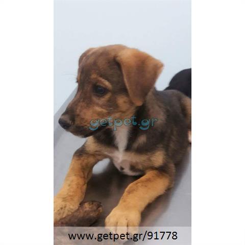 Δίνεται για υιοθεσία - χαρίζεται ημίαιμος σκυλάκος Presa Canario - Πρέσα Κανάριο