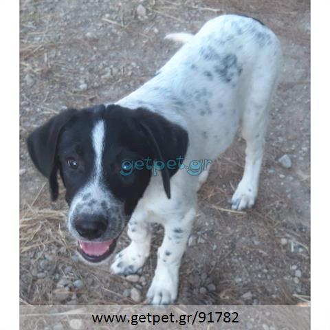 Δίνεται για υιοθεσία - χαρίζεται ημίαιμο κουτάβι Labrador Retriever - Λαμπραντόρ Ριτρίβερ