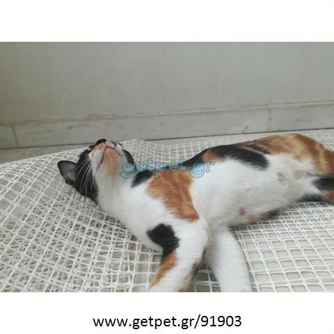 Δίνεται για υιοθεσία - χαρίζεται ημίαιμη γάτα