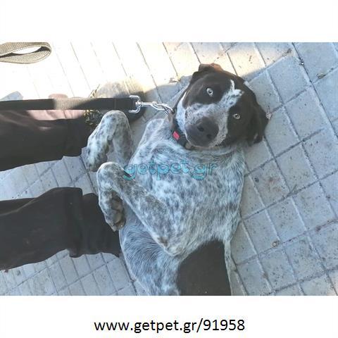 Δίνεται για υιοθεσία - χαρίζεται ημίαιμος σκυλάκος Kurzhaar - Κουρτσχαάρ
