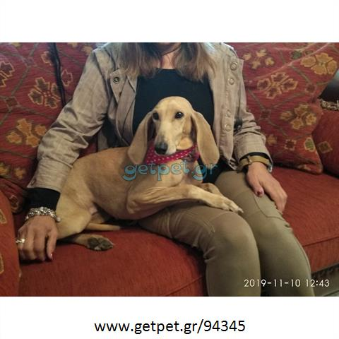 Δίνεται για υιοθεσία - χαρίζεται σκυλίτσα Segugio - Σεγκούτσι