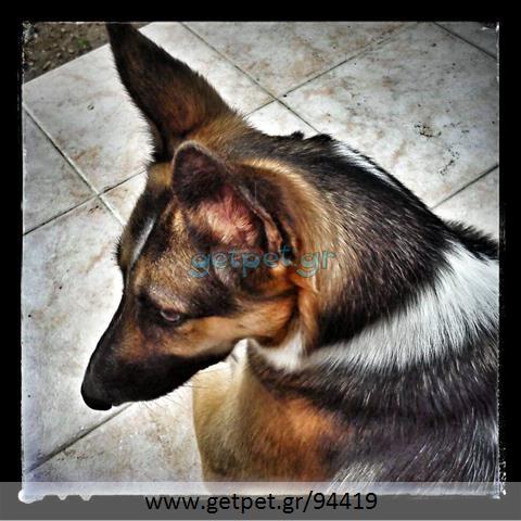 Δίνεται για υιοθεσία - χαρίζεται σκυλίτσα German Shepherd - Γερμανικός Ποιμενικός - Λυκόσκυλο