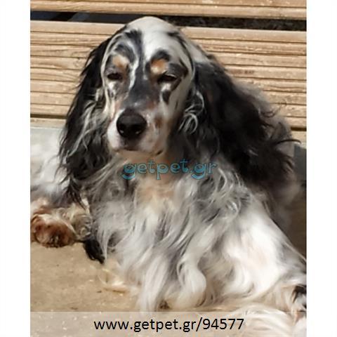 Δίνεται για υιοθεσία - χαρίζεται σκυλάκος Irish Setter - Αγγλικό Σέτερ