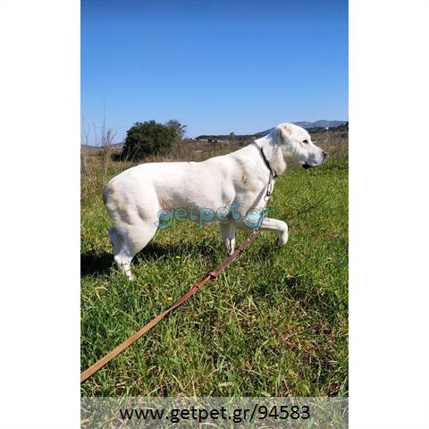 Δίνεται για υιοθεσία - χαρίζεται σκυλίτσα Central Asian Shepherd - Ποιμενικός Κεντρ. Ασίας